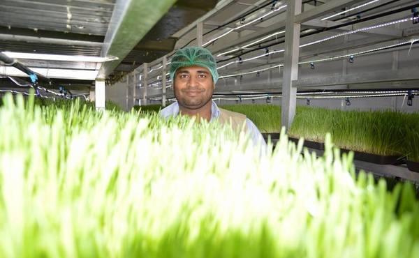 لأوّل مرّة في اليمن.. نجاح الزّراعة المائية في إنتاج الأعلاف الخضراء