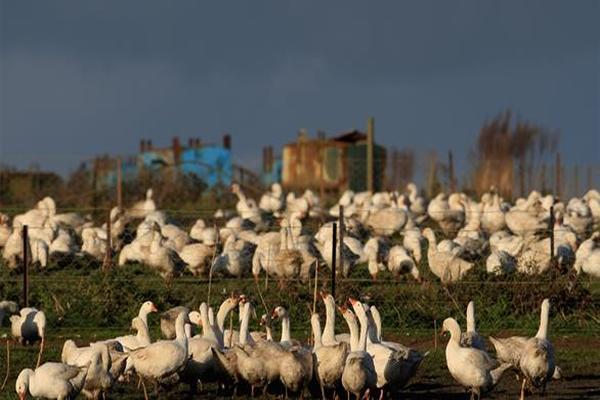 تفشي فيروس إنفلونزا الطيور في ست دول أوروبية