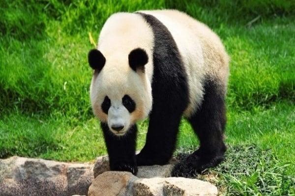الصين ستدشن حديقة وطنية للباندا العملاقة