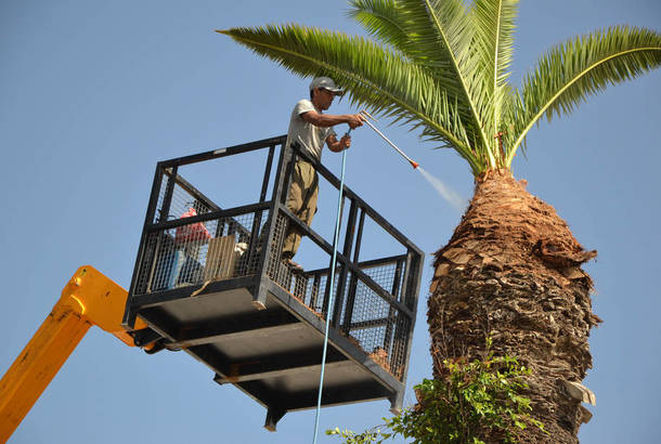 الفاو: أول خطة عمل لمنع سوسة النخيل الحمراء من القضاء على الاشجار