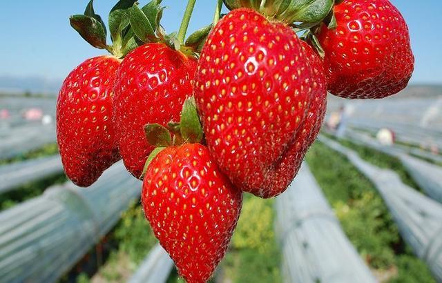 دراسة: الفراولة تقي من الإصابة بمرض الزهايمر