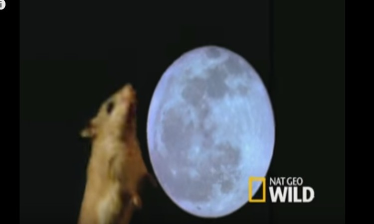 شاهد فيديو.. فأر مفترس يعوي كالذئاب عند اكتمال القمر