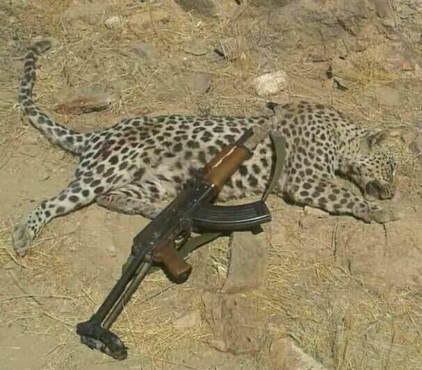حادثة جديدة في الضالع: قتل نمر عربي نادر مهدد بالانقراض