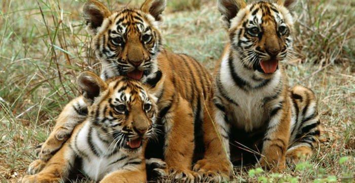الأمم المتحدة بيوم الأحياء البرية: هذه الحيوانات والقطط الكبيرة مهددة بالانقراض