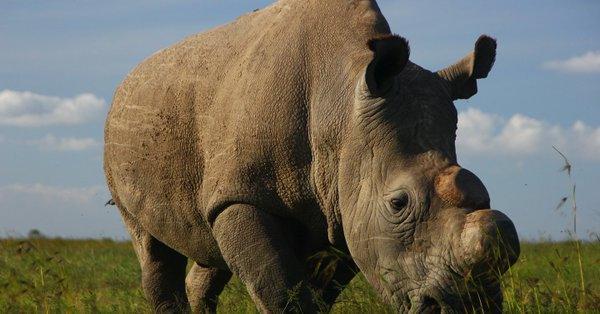 بالفيديو.. العالم يودع بحزن آخر ذكر وحيد القرن الأبيض وبريطانيا تعلق