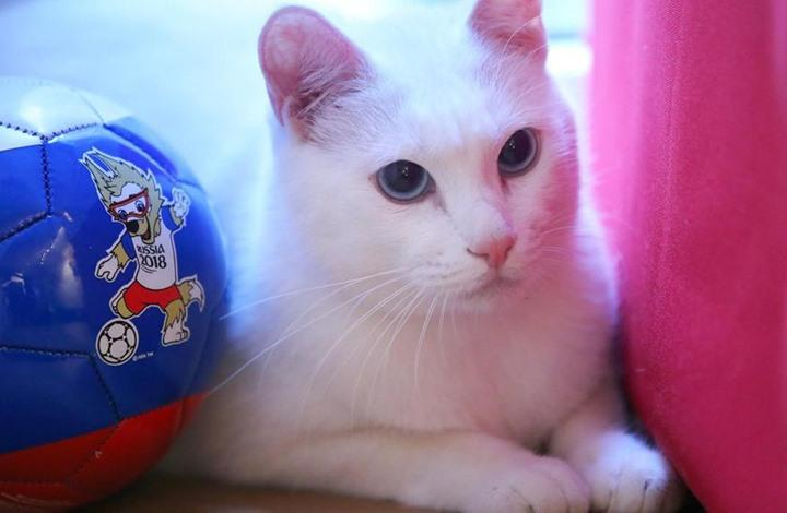 بعد الاخطبوط والسلحفاة.. القط أخيل عرّاف مونديال روسيا (فيديو)