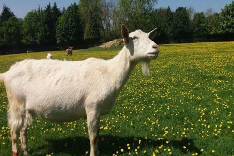 دراسة: الماعز يحب الأشخاص المبتسمين!