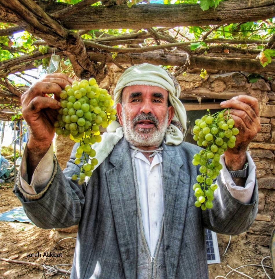 زراعة العنب اليمني تكاد تختفي في أهم معاقلها.. تقرير خاص