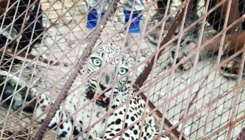 هيئة حماية البيئة في اليمن: انتهاكات ضد النمر العربي وسنتخذ الإجراءات